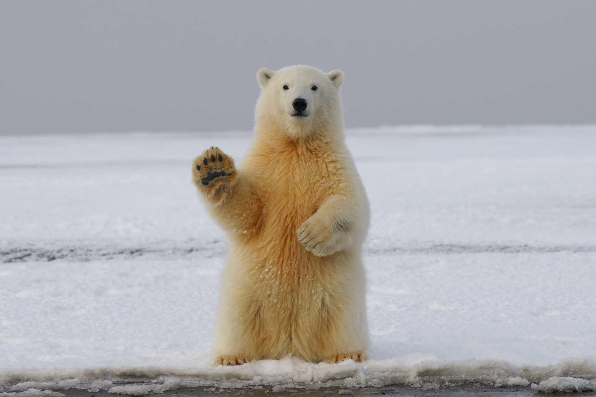 orso polare - piscologia brescia